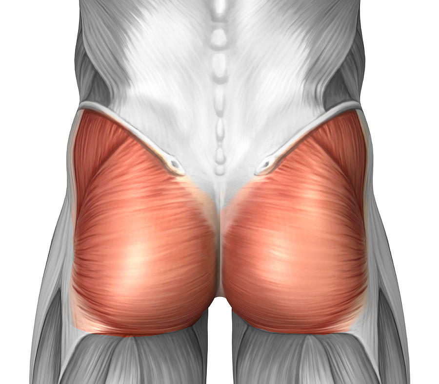 Gluteus Muscle.