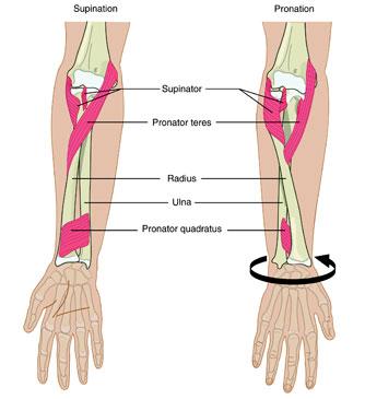Opptrening Av Pronasjon Og Supinasjon I Underarmen