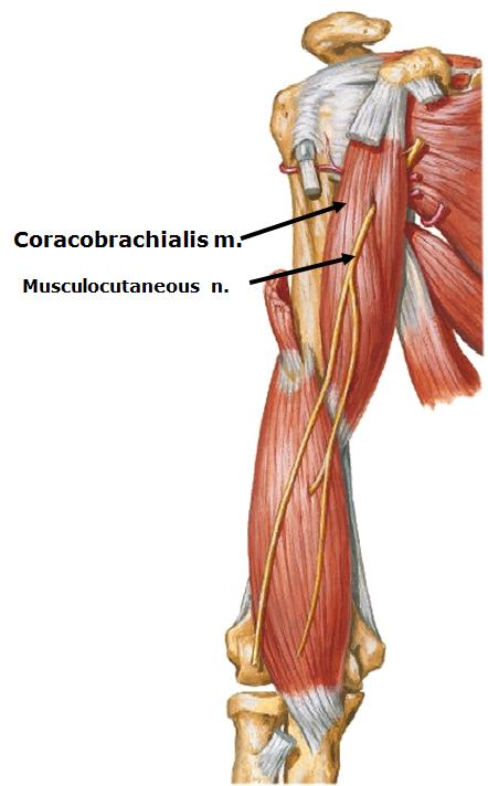 Opptrening Av Coracobrachialis