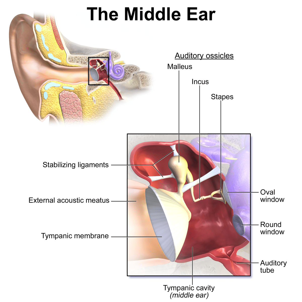 Blausen 0330 EarAnatomy MiddleEar - The association between tinnitus, the neck and TMJ