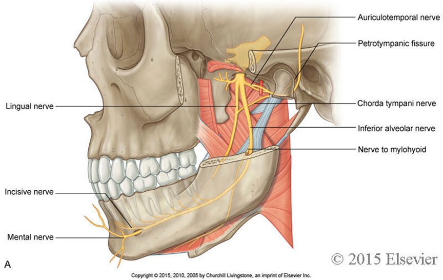 auriculotemporal nerve - The association between tinnitus, the neck and TMJ