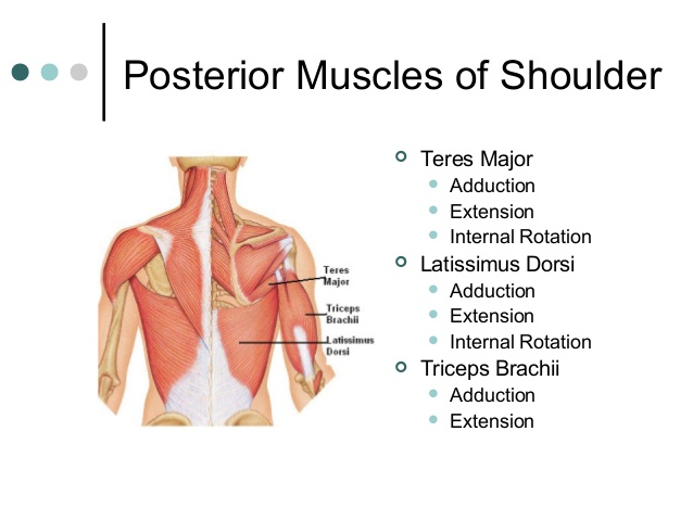 muscular-system-25-638[1]