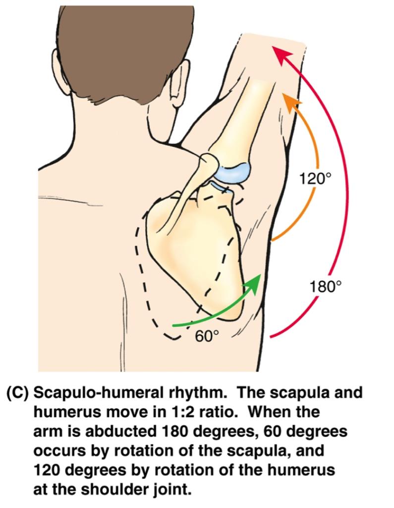 scapulohumeral-rhythm[1]