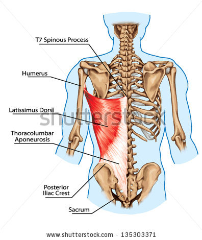 stock-vector-latissimus-dorsi-muscle-didactic-board-of-anatomy-of-human-bony-and-muscular-system-posterior-135303371[1]