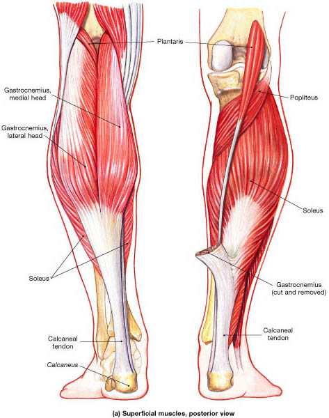 Posterior_muscles_of_leg