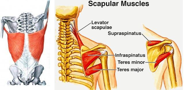 scap muscles